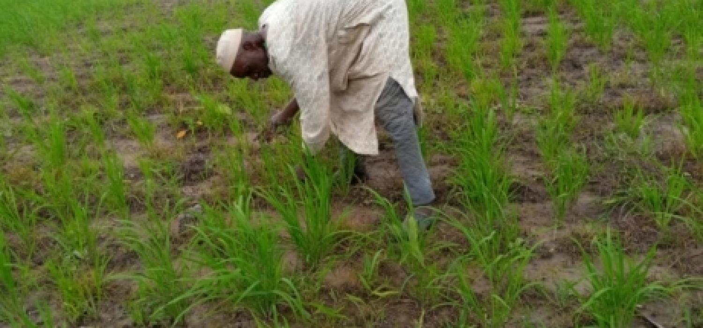 Arouna chabi mama, doing manual weeding of his rice farm