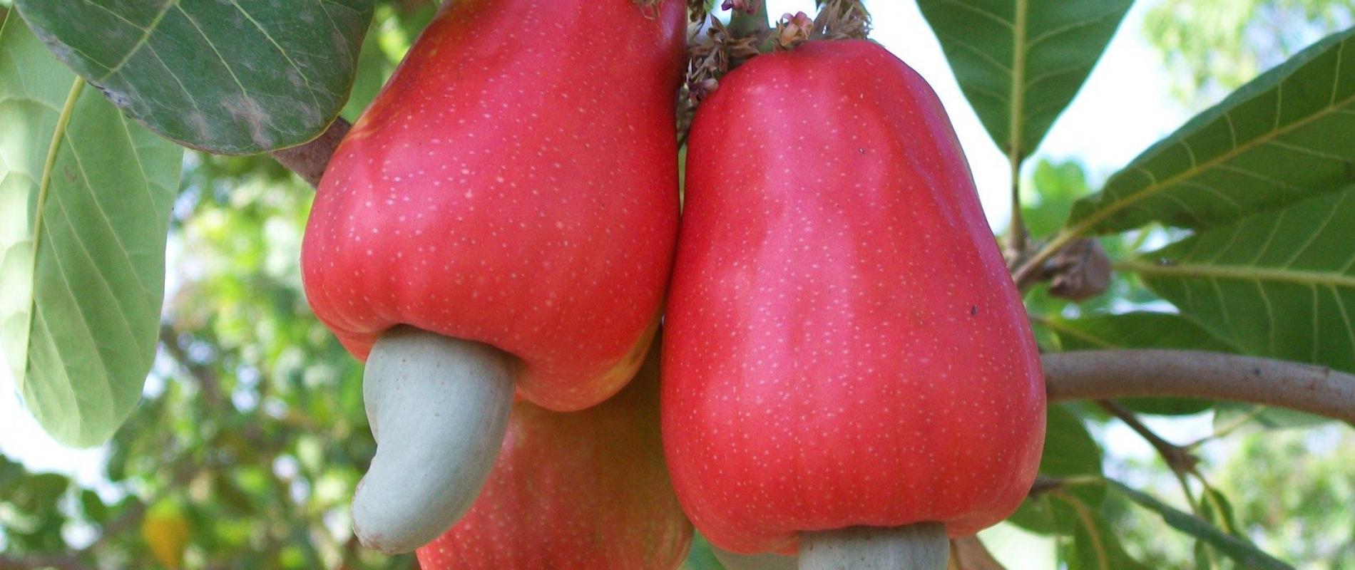 Onder de rode cashewappels groeien de cashewnoten. Het zijn deze noten waar de boeren hun geld mee verdienen, maar de cashewappel gooien we niet weg!