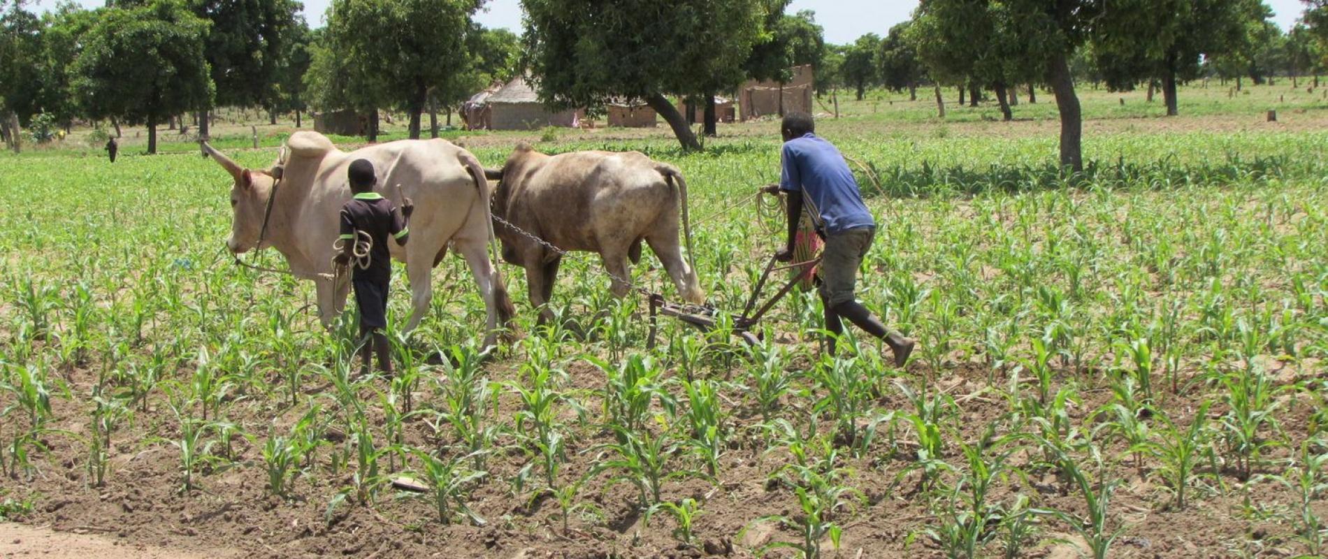 deze boer in Zino bewerkt de grond voordat hij de mais bemest