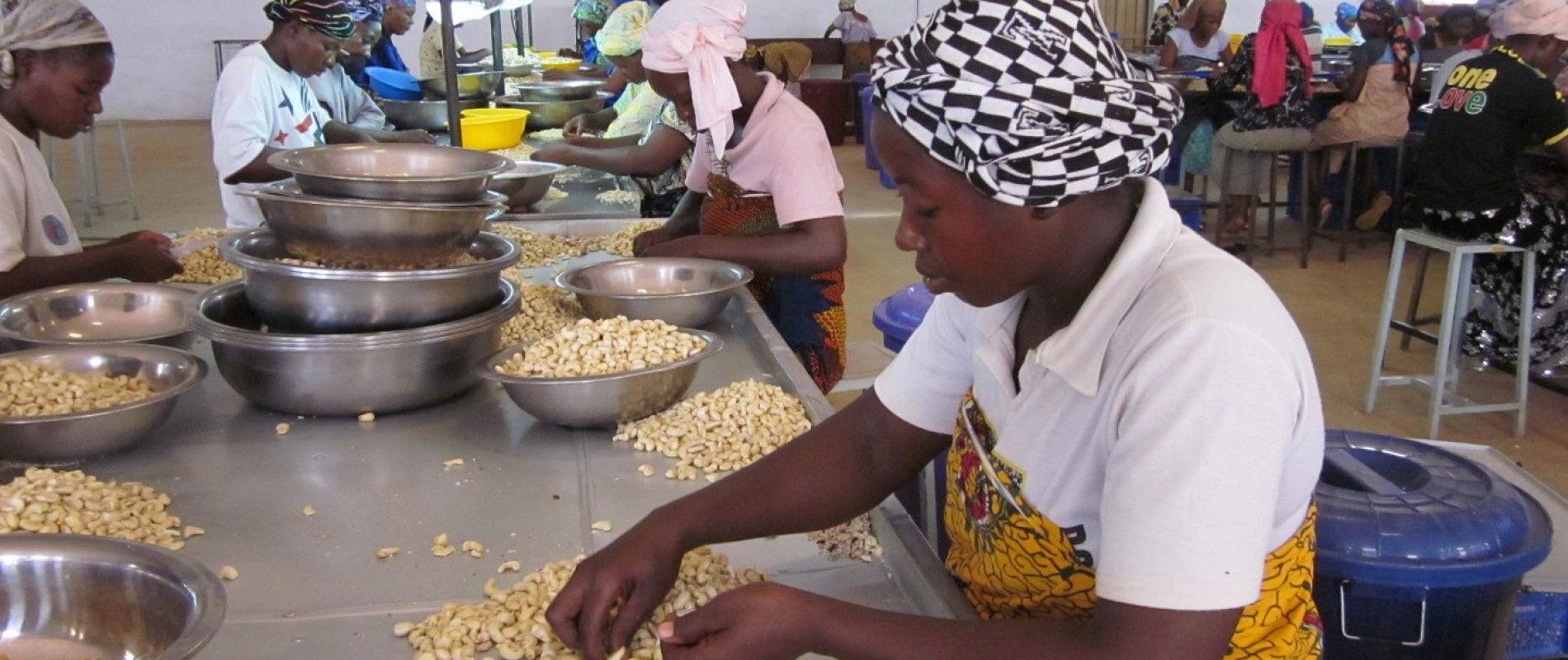 Na de kwaliteitscontrole worden de cashews gepeld.