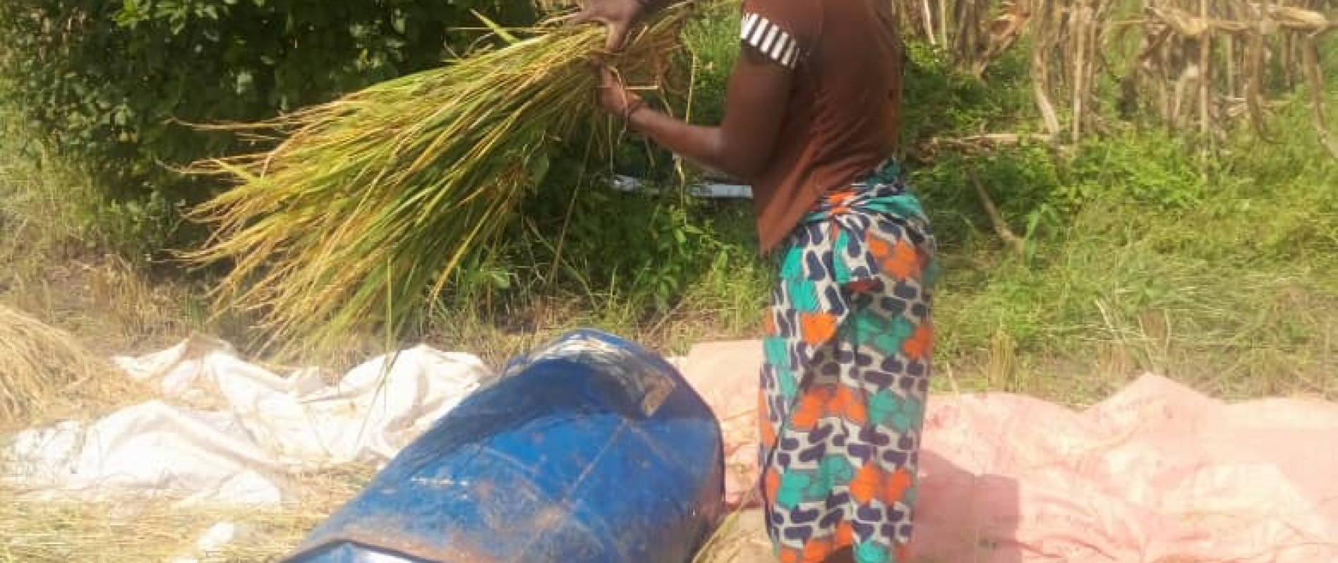 Rice plugging by a woman after harvesting in her farm